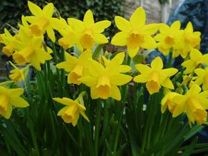 Used, Snowdrop, daffodil, bluebells, gladiolas bulbs (Colonial Park area) for sale